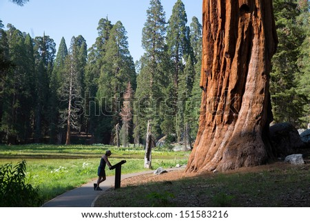 Female tourist standing in front of giant sequoia tree and reading information in Sequoia National Park, California, USA America - stock photo