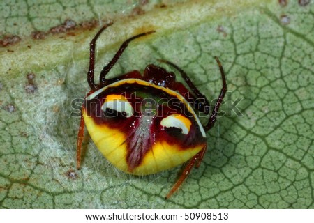 Female Two-spined Spider showing her defensive markings in New Zealand - stock photo