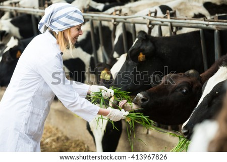 Female vet feeding cows herd in livestock farm and smiling - stock photo