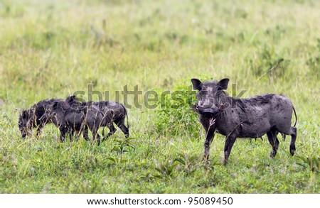 Female warthog with calves on Serengeti National Park - Tanzania - stock photo