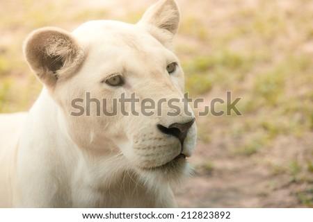 Female white lion face - stock photo