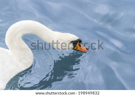 Female white swan drinking water on the Seine River - stock photo