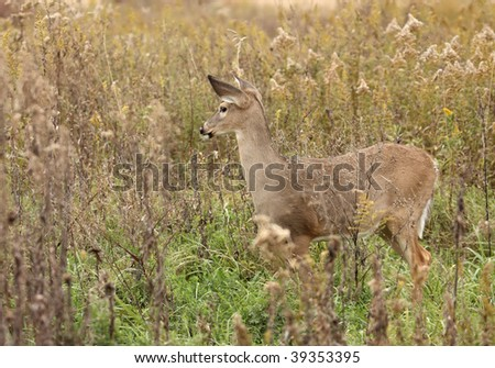 Female white-tail deer (Odocoileus virginianus) standing in tall grass