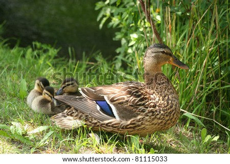 Female wild duck (Anas platyrhynchos) with ducklings in the sun - stock photo