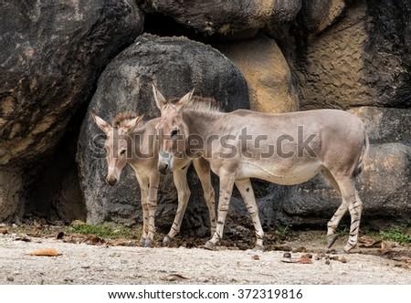 Female wild somali donkey with a foal - stock photo