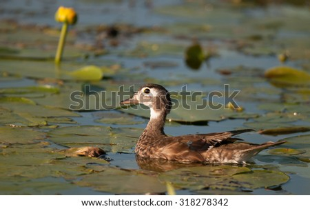Female wood duck (aix sponsa) swimming among the lily pads on the lake - stock photo