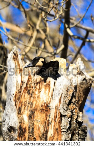 Female Wood Duck Looking to the Sky While Perched in a Tree - stock photo