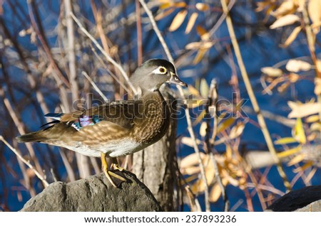 Female Wood Duck Perched on a Rock - stock photo