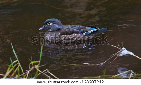 Female wood duck traveling through a water channel in a pond - stock photo