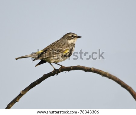 Female yellow-rumped or Myrtle warbler in a tree in breeding plumage