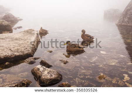 Females Mallard (Wild Duck, Anas Platyrhynchos)  - stock photo