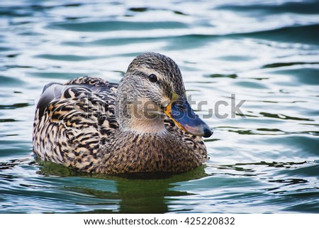 females of duck on the water