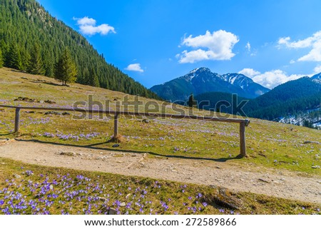 Fence along hiking path on meadow with blooming crocus flowers in Chocholowska valley, Tatra Mountains, Poland - stock photo