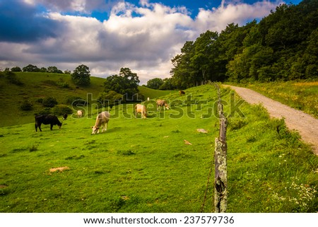 Fence and cows in a field at Moses Cone Park on the Blue Ridge Parkway in North Carolina. - stock photo