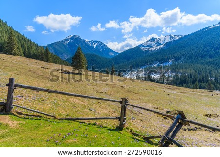 Fence on meadow with blooming crocus flowers in Chocholowska valley, Tatra Mountains, Poland - stock photo
