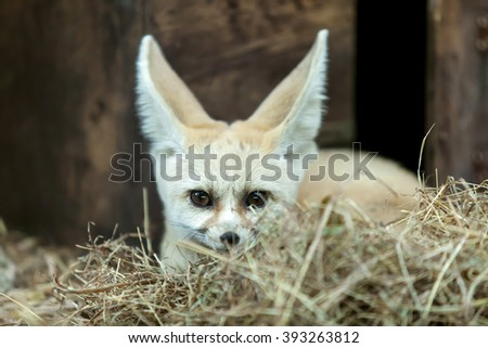 Fennec Fox sitting on a wooden box. - stock photo