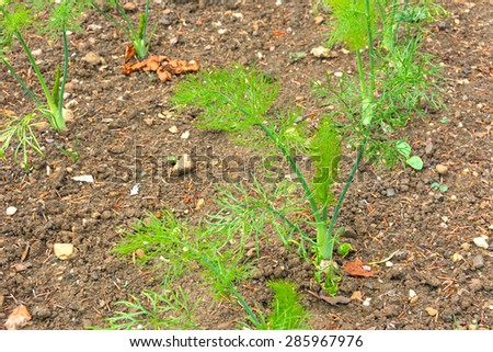 Fennel growing in a vegetable plot - stock photo