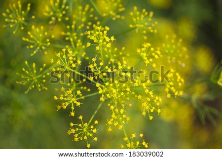 Fennel plant closeup   - stock photo