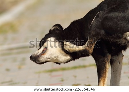 feral dog scratching for ticks and fleas - stock photo