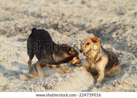 feral dogs playing on sandy beach, Sulina, Romania - stock photo