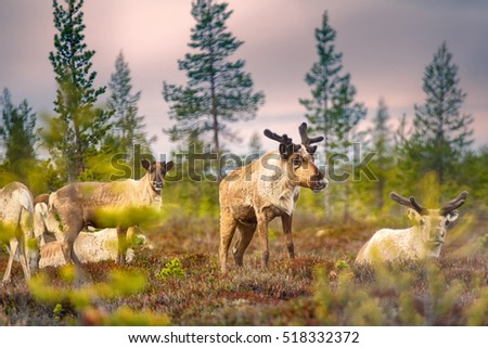 Feral reindeer. These animals are already few live in neutral zone of Russian-Norwegian border and breed here. Refund of caution and wild instincts. Young Siberian stag with antlers. Santa's reindeer