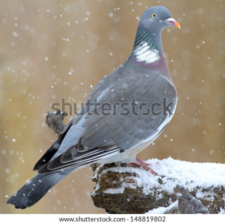Feral wood pigeon perched while its snowing - stock photo