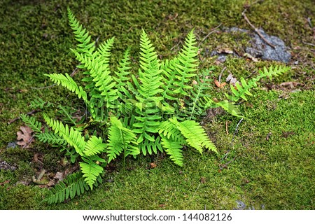 Fern (Bracken) on a moss covered boulder - stock photo