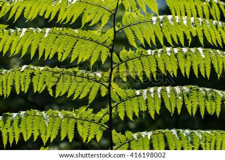 fern,fern leaf,close-up fern,nature,fern in Doi Inthanon National Park. Thailand  - stock photo