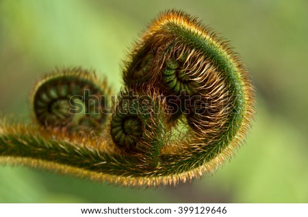 Fern fiddlehead.