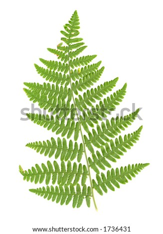 Fern Frond isolated - stock photo