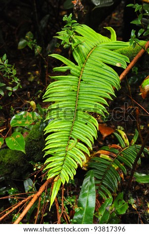Fern in Cloud Forest, Poàs Volcano National Park, Costa Rica - stock photo