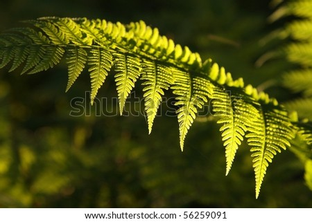 Fern in the forest backlit by the morning sunlight. - stock photo