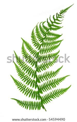 Fern isolated on white background - stock photo