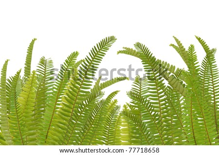 fern leaf  on white background