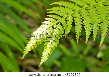 fern leaf, texture of green fern leaf in the forest