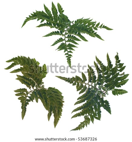 Fern leafs isolated on a white background. - stock photo
