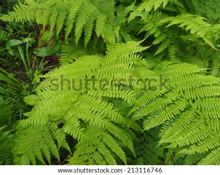 fern leaves in the forest - stock photo