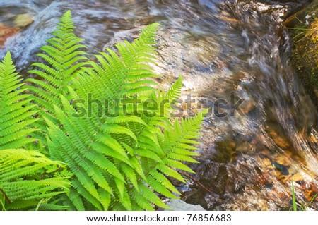 Fern overlooking mountain brook - stock photo