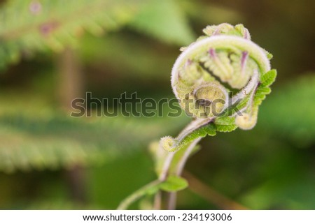 fern, pattern of curly young tip top of fern tree in nature. - stock photo