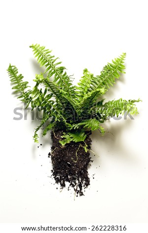 Fern with Roots - stock photo