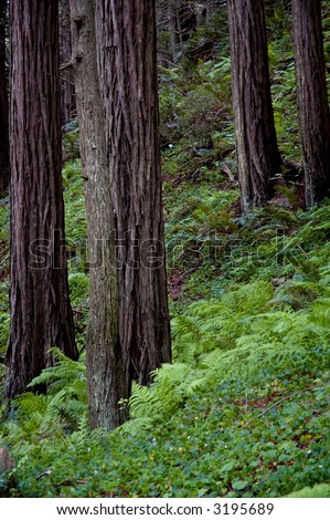Ferns and oxalis growing under a remote coastal redwood forest in California. - stock photo