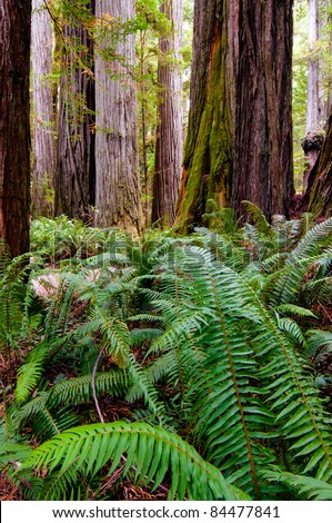 Ferns growing under the giant redwood trees in California - stock photo