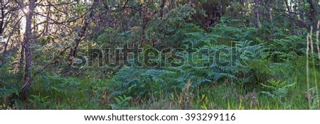 Ferns in Oak Grove Colony  - Ferns yellow autumnal oak forest Colonia panoramic view of fern plants in Mount oaks. Sunlight seeping through the trees  - stock photo