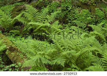 Ferns in the natural forest,europe,poland