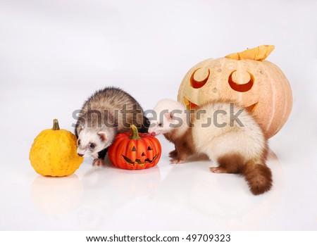 Ferret and pumpkin - stock photo