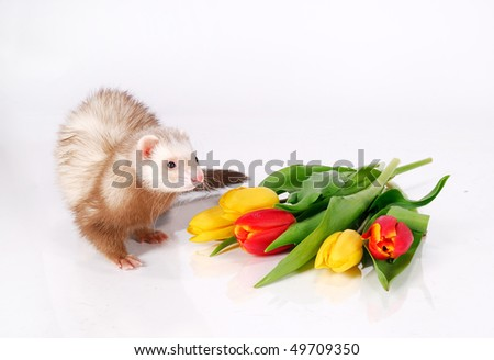 Ferret and tulip flowers - stock photo