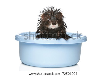 Ferret bathed in water on a white background - stock photo