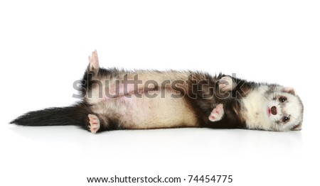 Ferret exotic rare color lying on a white background - stock photo