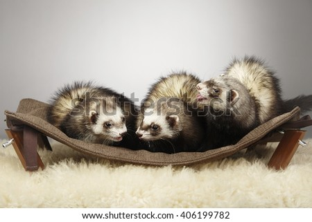 Ferret group on hammock - stock photo