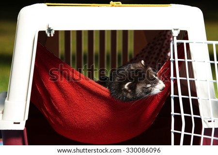 Ferret in hammock - stock photo